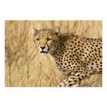 Africa. Kenya. Cheetah at Samburu NP. Art Photo