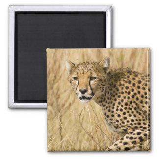 Africa. Kenya. Cheetah at Samburu NP. Refrigerator Magnet