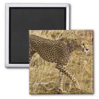 Africa. Kenya. Cheetah at Samburu NP. Magnet