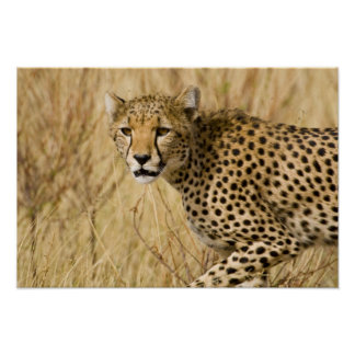 Africa. Kenya. Cheetah at Samburu NP. Poster