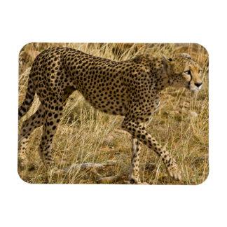 Africa. Kenya. Cheetah at Samburu NP. Flexible Magnets