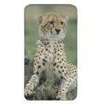 Africa, Kenya, Cheetahs
