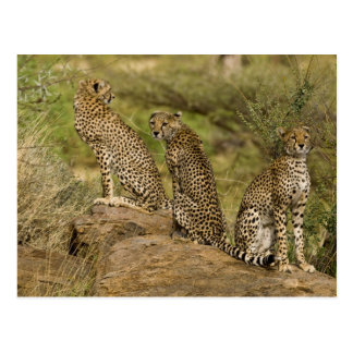 Africa. Kenya. Cheetahs at Samburu NP. 2 Postcards