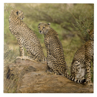 Africa. Kenya. Cheetahs at Samburu NP. 2 Tile