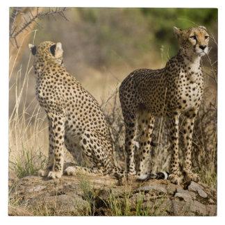 Africa. Kenya. Cheetahs at Samburu NP. Ceramic Tile