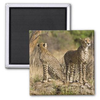 Africa. Kenya. Cheetahs at Samburu NP. Refrigerator Magnets