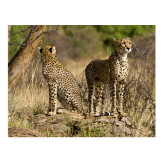 Africa. Kenya. Cheetahs at Samburu NP. Post Card