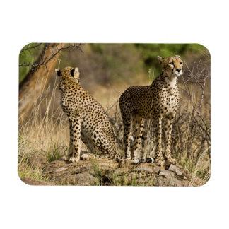 Africa. Kenya. Cheetahs at Samburu NP. Rectangular Magnet