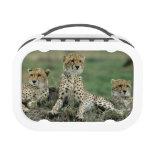 Africa, Kenya, Cheetahs Lunchboxes