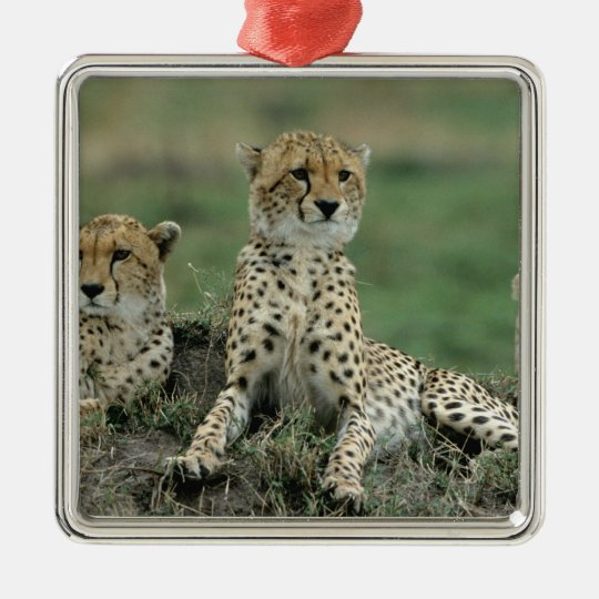Africa, Kenya, Cheetahs Metal Ornament