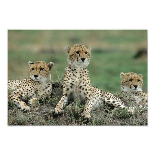 Africa, Kenya, Cheetahs Photo Print