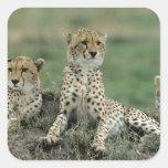 Africa, Kenya, Cheetahs Square Sticker
