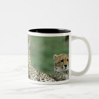 Africa, Kenya, Cheetahs Two-Tone Coffee Mug