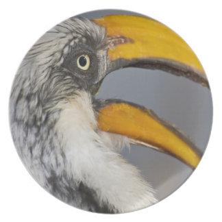 Africa. Kenya. Eastern Yellow-billed Hornbill at Dinner Plate