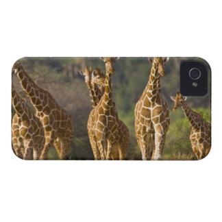 Africa Kenya Herd of Reticulated Giraffes at Blackberry Cases