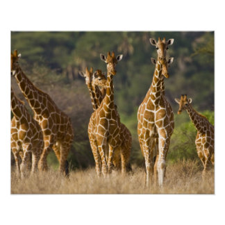 Africa. Kenya. Herd of Reticulated Giraffes at Poster
