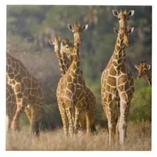 Africa. Kenya. Herd of Reticulated Giraffes at Tile