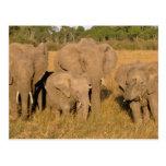 Africa, Kenya, Masai Mara. African Elephant Post Cards