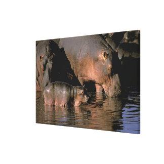 Africa, Kenya, Masai Mara. Common hippopotamuses Canvas Print