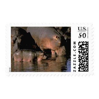 Africa, Kenya, Masai Mara. Common hippopotamuses Postage