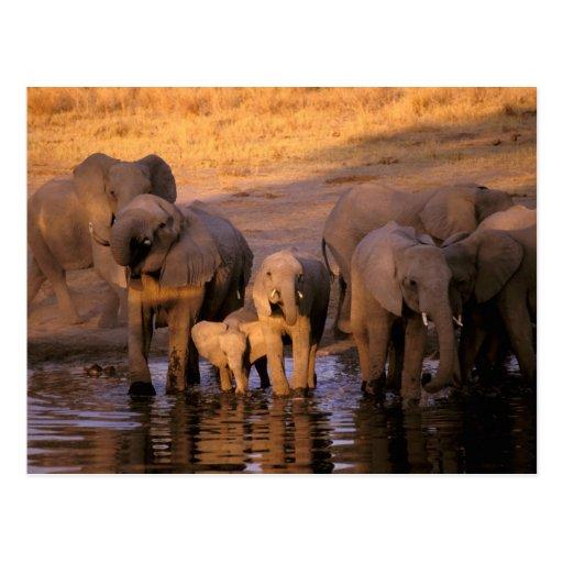Africa, Kenya, Masai Mara. Elephants (Loxodonta Post Card