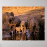 Africa, Kenya, Masai Mara. Elephants (Loxodonta Print