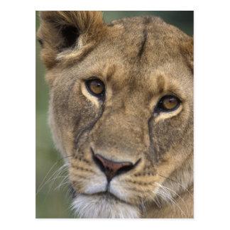 Africa, Kenya, Masai Mara Game Reserve, 2 Postcard