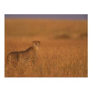 Africa, Kenya, Masai Mara Game Reserve, Adult 2 Postcard