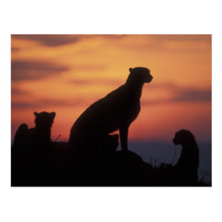 Africa, Kenya, Masai Mara Game Reserve, Adult 3 Postcard