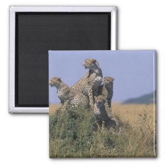Africa, Kenya, Masai Mara Game Reserve, Adult 4 2 Inch Square Magnet