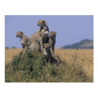 Africa, Kenya, Masai Mara Game Reserve, Adult 4 Postcard