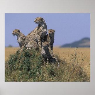 Africa, Kenya, Masai Mara Game Reserve, Adult 4 Poster