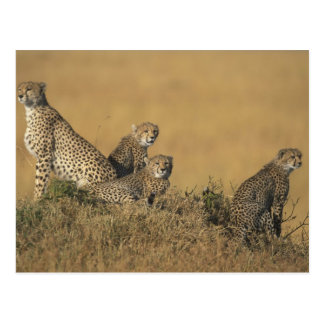Africa, Kenya, Masai Mara Game Reserve, Adult 5 Postcard