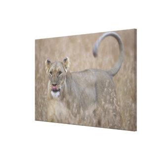 Africa, Kenya, Masai Mara Game Reserve, Adult 6 Canvas Print