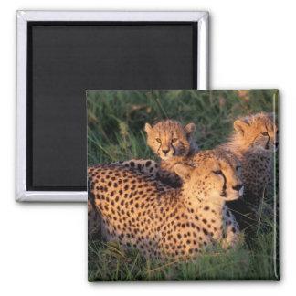 Africa, Kenya, Masai Mara Game Reserve. Cheetah 2 2 Inch Square Magnet