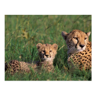 Africa, Kenya, Masai Mara Game Reserve. Cheetah Postcard