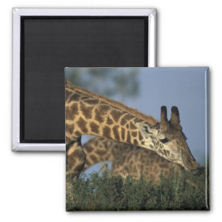 Africa, Kenya, Masai Mara Game Reserve, Giraffes Magnet