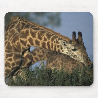 Africa, Kenya, Masai Mara Game Reserve, Giraffes Mouse Pad