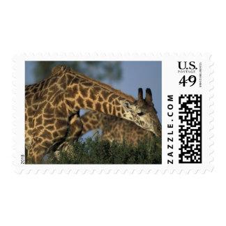 Africa Kenya Masai Mara Game Reserve Giraffes Postage Stamp