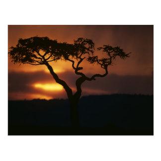 Africa, Kenya, Masai Mara Game Reserve, Setting Postcard