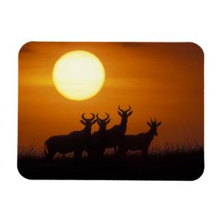 Africa, Kenya, Masai Mara Game Reserve, Topi Magnet