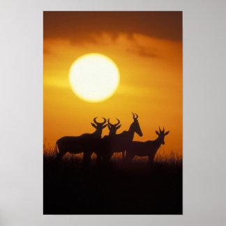 Africa, Kenya, Masai Mara Game Reserve, Topi Poster