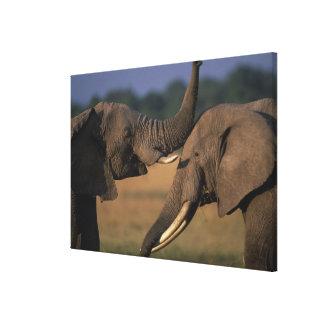 Africa, Kenya, Masai Mara Game Reserve, Two Bull Canvas Print