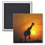 Africa, Kenya, Masai Mara. Giraffe (Giraffe Fridge Magnet