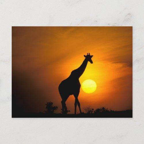 Africa Kenya Masai Mara Giraffe Giraffe Postcard