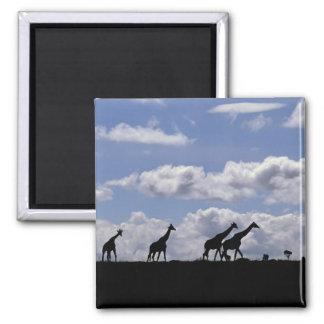 Africa,Kenya,Masai Mara. Giraffes (Giraffa Magnet