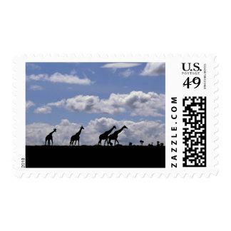 Africa,Kenya,Masai Mara. Giraffes (Giraffa Postage