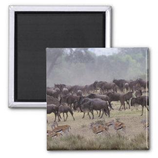 Africa, Kenya, Masai Mara. Herds of Gazelle, Magnet