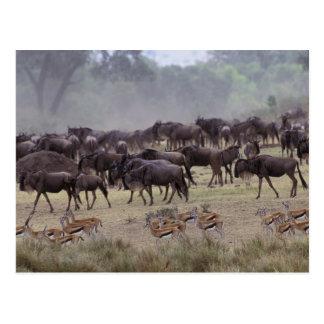 Africa, Kenya, Masai Mara. Herds of Gazelle, Postcard