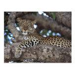 Africa. Kenya. Masai Mara. Leopard (Panthera Post Card